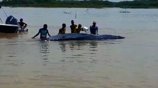 Wieloryb zgubił się w wodach Morza Karaibskiego