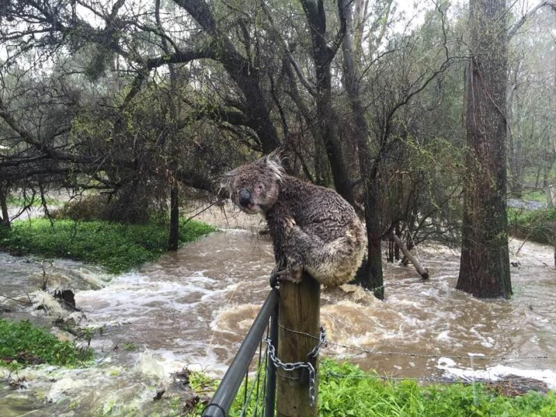 Przemoczony koala podczas powodzi w Australii (fot.: Russell Latter)